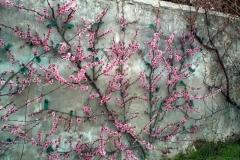Pecher en fleurs