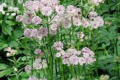 astrantia-major