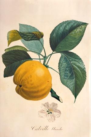 Poiteau Calville 1846