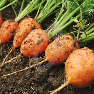 carotte ronde