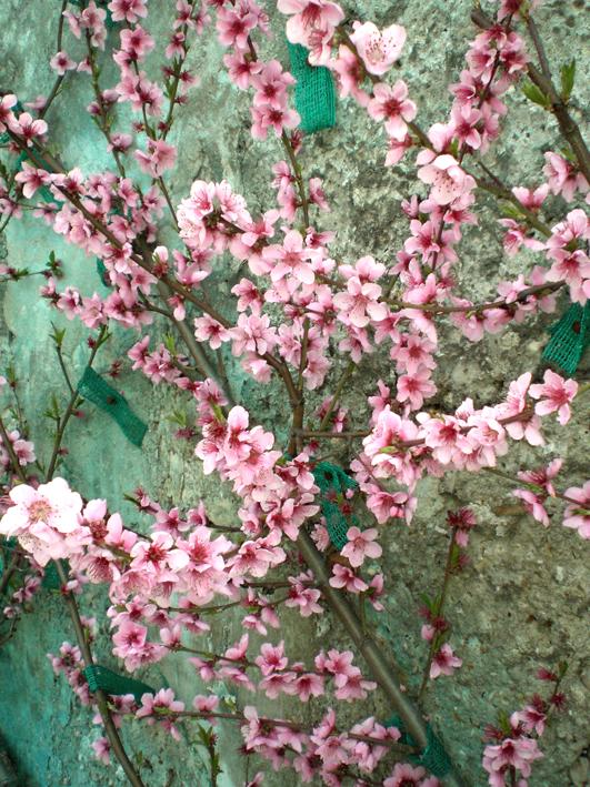 pechers en fleurs