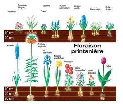 profondeur-plantation-bulbe-floraison-printaniere