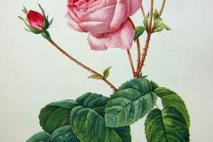 centifolia2