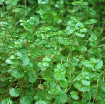 soleirolia soleirolli