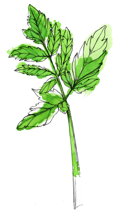 CeleriBranche